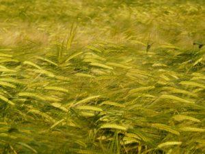 wheat blown in the wind